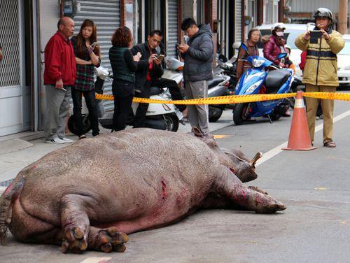 Hippo gevloerd